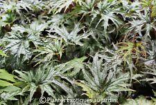 Begonia sikkimensis ° 1 plant ° rustique.docx