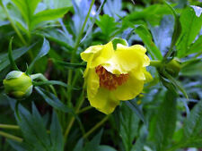 1 Paeonia lutea established 3rd yr p9 Yellow Hardy Tree Peony Autumn colour 9cm