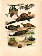 1890 MARTIN LITHOGRAPH flying fox, bat, hedgehog, marten, weasel, polecat, otter