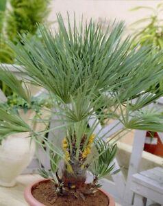 Chamaerops humilis Hardy Mediterranean Fan Palm Tree 60-70cm tall Garden
