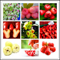 50 PCS Seeds Rose Apple Bonsai China Fruit Flores Home Garden Planting Easy Grow
