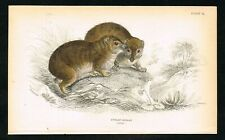 1835 Syrian Rock Hyrax, Badger, Hand-Colored Antique Zoology Print - Lizars