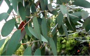 Snow Gum Tree Seeds - Eucalyptus Pauciflora, Nyphophila Drought & Frost Tolerant