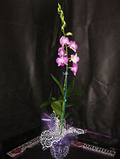 BIN- 1 Blooming/Budded Dendrobium Orchid Plant - Long lasting- A gift of Aloha!