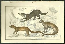 Coloured, steel engraving of civets from Goldsmith's '...Animated Nature'
