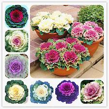 Flowering Ornamental Cabbage Seeds Plants Bonsai Flowering Kale Pot Garden