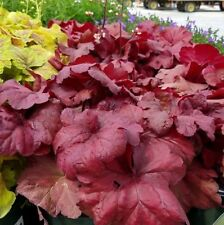 FIRE ALARM Heuchera decorative colourful ruffled foliage plant in 140mm pot