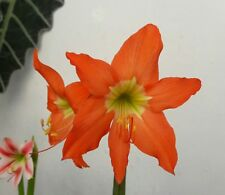 Amaryllis Lily Bulb, Hippeastrum Puniceum, Easter Lily Cocoa Lily Flowering Size