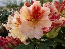 Rhododendron 'Peggy' ® - INKARHO 30 - 40 cm im 7,5 Liter Container