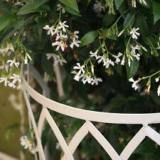 Trachelospermum Jasminoides Star Jasmine Climber Specimen Very Fragant Flowers
