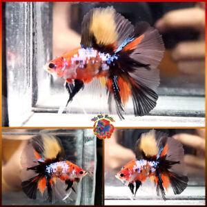 Live Betta Fish Male Fancy SUPER Galaxy Orange Tiger Koi Double Tail Halfmoon