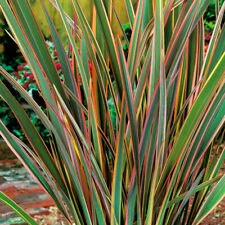 More details for 1 x phormium 'maori queen' new zealand flax evergreen shrub hardy plant in pot