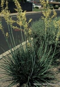 Fresh Yellow Texas Yucca Hesperaloe parviflora ~ 30 Seeds - NOT RED!