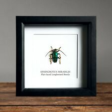Longface Longhorn Beetle in Box Frame Taxidermy Insect Art