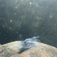 Electric Blue Crayfish Babys Nice! No Reserve!