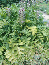 Acanthus hungaricus Balkan-Akanthus, Bärenklau Staude 0,5 L Topf gewachsen