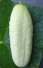 WHITE WONDER CUCUMBER SEEDS 50+ Vegetables COOKING culinary PICKLE FREE SHIPPING