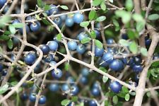 Rare seeds * Coprosma Propingua -New Zeeland Mingimingi fruits - 3 fresh seeds