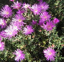 Mesembryanthemum purple (pigface) in 50mm forestry tube cacti and succulents