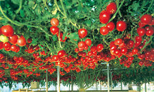 Seeds Tomato Tree Vegatable High Yield 30 kg Bush NON-GMO Organic Heirloom