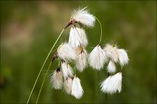 Eriophorum angustifolium (Cotton Grass) bare root native marginal/bog plant.