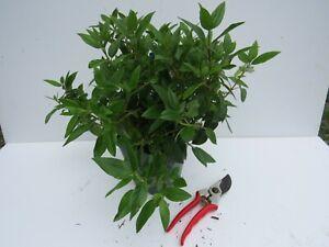 Viburnum Tinus 'Eve Price'- good sized plant 2L pot