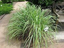 100 LEMONGRASS Lemon Grass Herb Vegetable Ornamental Cymbopogon Flexuosus Seeds