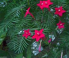Cypress Vine Seeds ~ Bright Red - 20 SEEDS (Ipomoea Pennata) Hummingbird VINE