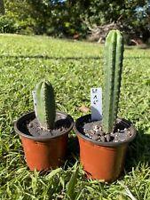 Echinopsis Sp Seedlings Torres & Torres X Yowie, San Pedro 6�