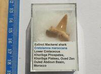 Raro en Caja Fossil Diente de Tiburón - Cretolamna Maroccana- 2.7cm Marruecos
