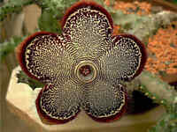 Edithcolea Grandis Succulent Carrion Flower 15 Seeds Cactus Home Garden Decor