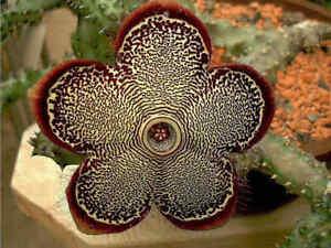 Edithcolea Grandis Succulent Carrion Flower 15 Seeds Cactus Home Garden Decor