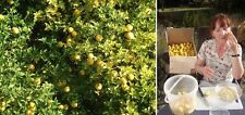 3 Bäume winterharte Orange Poncirus trifoliata einzige winterfeste Zitrusfrücht