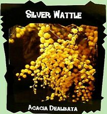 Silver Wattle Mimosa Tree 60 seeds - Acacia dealbata
