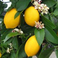 """Lemon Meyer Live Tree Plant 4"""" Pot Grow Indoors Outdoor Graden Houseplant"""