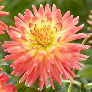 Decorative Dahlia Mxed Colors Root Spectacular Cut Flowers, Flower Bulb, STORE