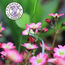 Grandiflora Perenni Fiore Libertia Chilensis Nuova Zelanda Iris 100 Semi