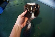 Small Skunk pouch rendezvous pow wow purse real face tail fur n leather strap
