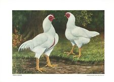 White Cornish by L A Stahmer 1928 Poultry Tribune Reprint