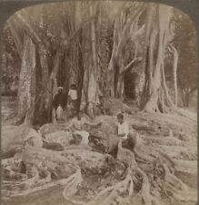 Ceylon. Curious Roots & Trunks of the India-rubber Tree, near Kandy - Stereoview