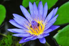 Blue Lotus Absolute 10ml @ 5% diluire origine India)