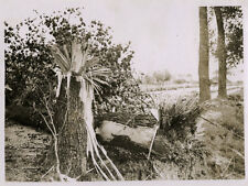 WORLD WAR ONE WW1 ORIGINAL PHOTO - THE EFFECT OF A DIRECT HIT ON A TREE