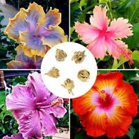100x 24 Farben Riesen Hibiskus Samen Dinnerplate Hibiskus Mehrjährige Blume E4C6