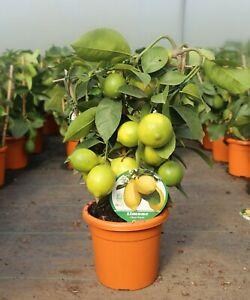 Lemon Tree Citrus (1.5L Pot)