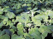 1000 DWARF ESSEX RAPE KALE Brassica Napus Seeds *CombSH