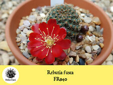 Cactus Seeds - Rebutia fusca FR940