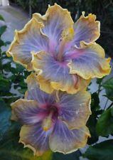 20 Purple Yellow Hibiscus Seeds Flower Flowers Perennial Seed 261 US SELLER