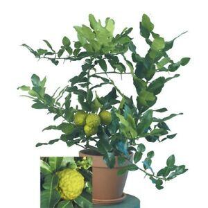 Citrus hystrix / Kaffir Lime Tree Garden Outdoor Fruit Plant
