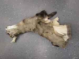"""Soft Dry Tanned Mule Deere Cape Wyoming Taxidermy Aprox 16"""" #2"""