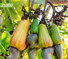 10 Pcs Seeds Cashew Nuts Tree Bonsai Plants Garden Fruit Free Shipping 2019 Rare